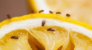 fruit-flies_620x350_61485502572.jpg