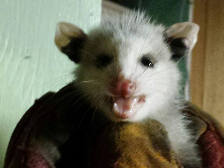 Lemme tell you a little story about a Possum