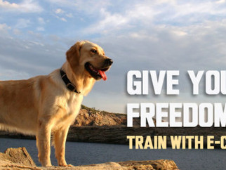E-Collar Training For Dogs Choose Rent A Website From SEO Flatrate