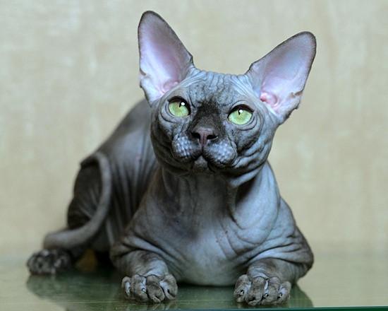 Sphynx Cat   United States   Paragoncats