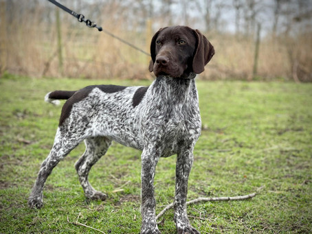 """""""male"""" German shorthaired pointer"""