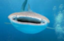 Купание с китовыми акулами