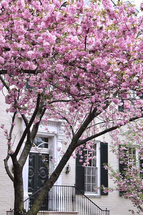 Kwanza Blossoms in Old Town, VA