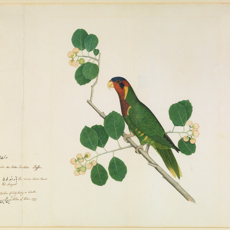 An Ornate Lorikeet on a branch of the Indian cherry tree By Zain al-Din, painted for Lady Impey Calcutta, dated 1777