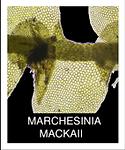 MARCHESINIA-MACKAII.png