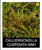 CALLIERGONELLA-CUSPIDATA-WM1.png