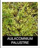 AULACOMNIUM-PALUSTRE.png