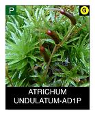 ATRICHUM-UNDULATUM-AD1P.png
