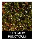 RHIZOMNIUM-PUNCTATUM.png