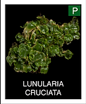 LUNULARIA-CRUCIATA.png