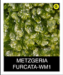METZGERIA-FURCATA-WM1.png