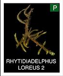 RHYTIDIADELPHUS-LOREUS-2.png