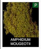 AMPHIDIUM-MOUGEOTII.png