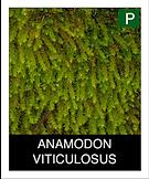 ANAMODON-VITICULOSUS.png