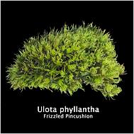 Ulota phyllantha.png