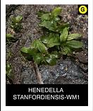 HENEDELLA--STANFORDIENSIS-WM1.png