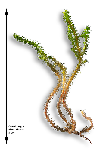 Wet shoots of Rhytidiadelphus squarrosus - Springy Turf-moss - Derbyshire