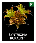 SYNTRICHIA-RURALIS-1.png