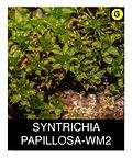 SYNTRICHIA-PAPILLOSA-WM2.png