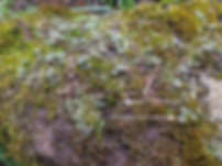 Three species on a sandstone rockery boulder - Town Centre - Staffordshire
