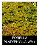 PORELLA-PLATYPHYLLA-WM1.png