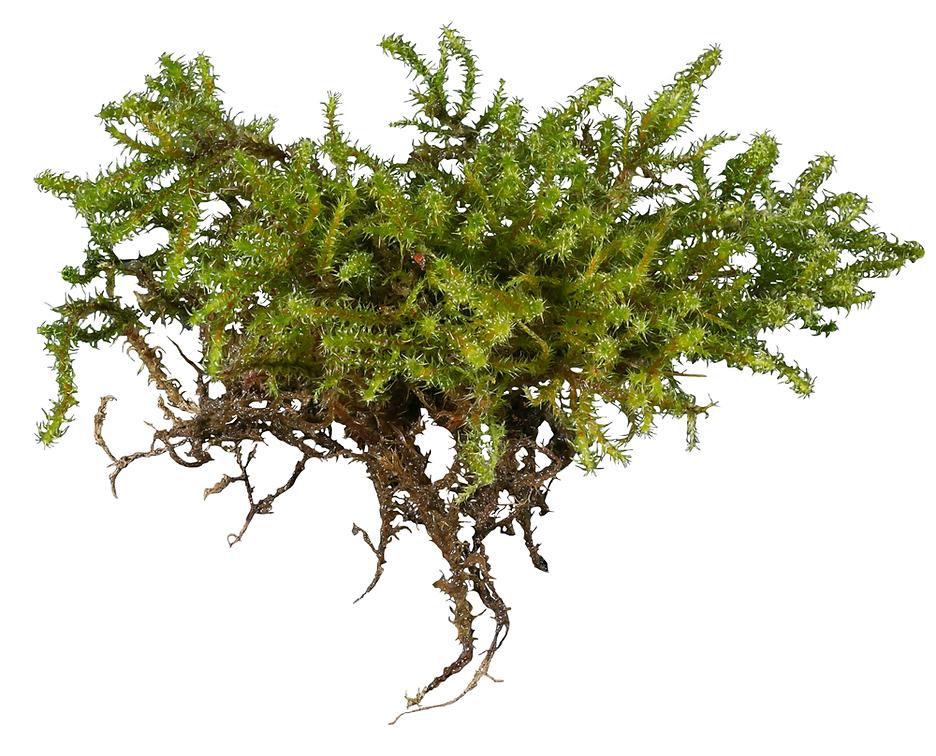 Wet cluster of shoots of Rhytidiadelphus squarrosus - Springy Turf-moss - Derbyshire