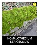 HOMALOTHECIUM-SERICEUM-AD.png