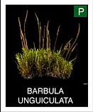 BARBULA-UNGUICULATA.png