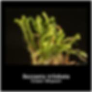 Bazzania trilobata.png