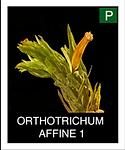 ORTHOTRICHUM--AFFINE-1.png
