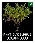 RHYTIDIADELPHUS-SQUARROSUS.png