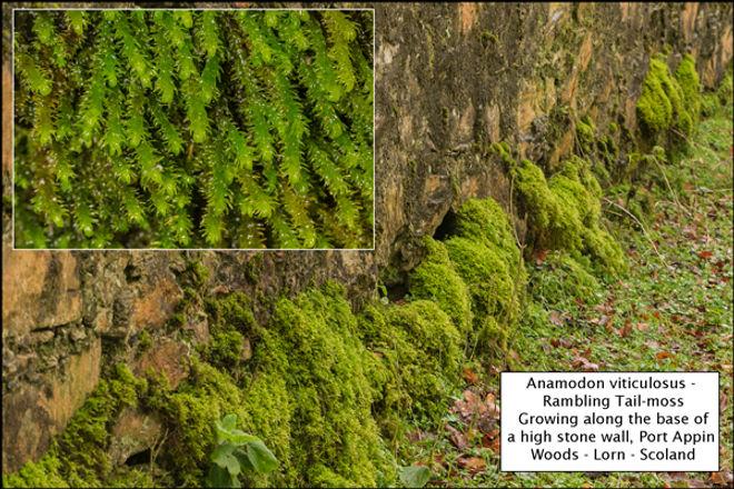 Anamodon viticulosus - Rambling Tail-moss