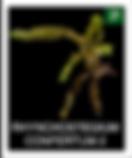 RHYNCHOSTEGIUM-CONFERTUM-2.png