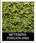 METZGERIA--FURCATA-WM2.png