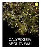 CALYPOGEIA ARGUTA-WM1.png