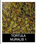 TORTULA-MURALIS-1.png