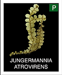 JUNGERMANNIA-ATROVIRENS.png