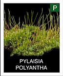 PYLAISIA-POLYANTHA.png