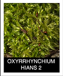 OXYRRHYNCHIUM-HIANS-2.png