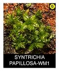 SYNTRICHIA-PAPILLOSA-WM1.png