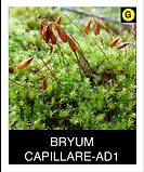 BRYUM-CAPILLARE-AD1.png