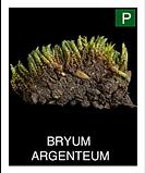 BRYUM--ARGENTEUM.png