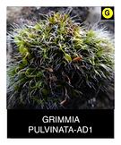 GRIMMIA-PULVINATA-AD1.png