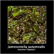 JAMESONIELLA-AUTUMNALIS.png
