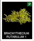 BRACHYTHECIUM-RUTABULUM-1.png