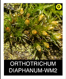ORTHOTRICHUM-DIAPHANUM-WM2.png