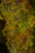 Thuidium tamariscinum - Common Tamarisk-moss