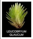 LEUCOBRYUM-GLAUCUM.png