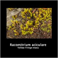 RACOMITRIUM ACICULARE.png