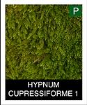 HYPNUM-CUPRESSIFORME-1.png